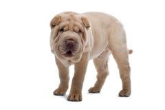Shar-Pei puppy dog Stock Photography