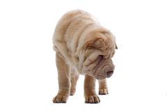 Shar-Pei puppy dog Stock Photo