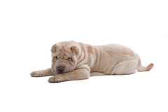 Shar-Pei puppy dog Royalty Free Stock Photography