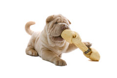 Shar-Pei puppy dog with a bone Stock Image