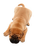 Shar pei puppy dog sleeping Royalty Free Stock Images