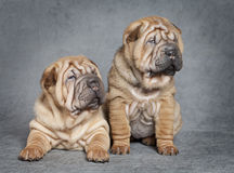 Shar-Pei puppy dogs Royalty Free Stock Photos