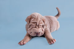 Shar-pei puppy dreaming sweetly Stock Photo
