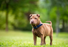 Shar Pei Royalty Free Stock Photo