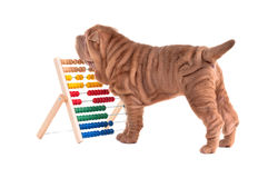 Shar-pei puppy learning to count with Abacus. Playful shar-pei puppy and an abacus isolated on white background Stock Image