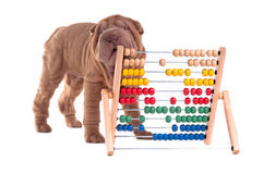 Shar-pei puppy is learning to count with Abacus. Isolated on white background Stock Photography