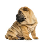 Shar pei puppy, looking back, sitting (11 weeks old) Royalty Free Stock Images