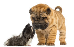 Shar Pei puppy looking down at a guinea pig, 2 months old Stock Image