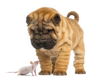 Shar Pei puppy looking down at a Hairless mouse. Isolated on white royalty free stock image