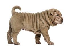 Shar Pei-puppy lopen, geïsoleerd op wit Royalty-vrije Stock Afbeelding