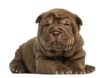 Shar Pei puppy lying down, looking at the camera Royalty Free Stock Images