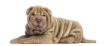 Shar Pei puppy lying down, looking at the camera, Royalty Free Stock Image