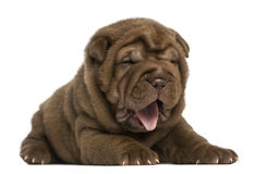 Shar Pei puppy lying down, panting, isolated Royalty Free Stock Photos