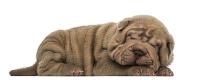 Shar Pei puppy lying down, sleeping, Stock Photos