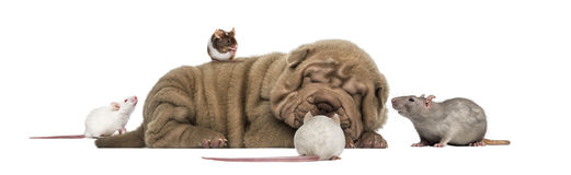 Shar Pei puppy lying down surrounded by mice Royalty Free Stock Image