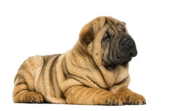 Shar pei puppy lying down (11 weeks old) Royalty Free Stock Images
