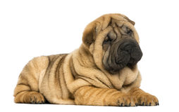 Shar pei puppy lying down (11 weeks old) Stock Images