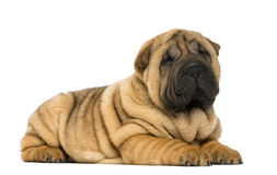 Shar pei puppy lying down (11 weeks old) royalty free stock photo