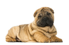 Shar pei puppy lying down (11 weeks old) Royalty Free Stock Photography