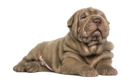 Shar Pei puppy lying, dozing, Royalty Free Stock Images