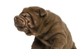 Shar Pei puppy making a face, isolated on white Royalty Free Stock Photo