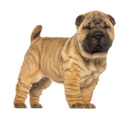 Shar Pei puppy, 2 months old, standing and facing Royalty Free Stock Images