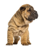 Shar Pei puppy, 2 months old, standing Stock Images