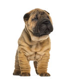 Shar Pei puppy, 2 months old, standing Royalty Free Stock Images