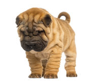 Shar Pei puppy, 2 months old, standing and looking down Stock Photography