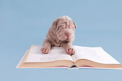 Shar-pei puppy reading a book Royalty Free Stock Photo