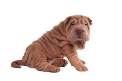 Shar-pei puppy sitting Stock Photos