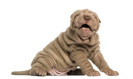 Shar Pei puppy sitting, barking Stock Photography