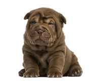 Shar Pei puppy sitting Royalty Free Stock Photo