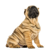 Shar pei puppy sitting and looking up (11 weeks old) Stock Image