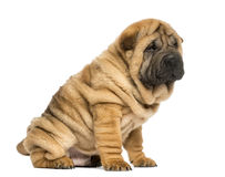 Shar pei puppy sitting (11 weeks old) Royalty Free Stock Images