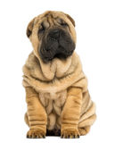 Shar pei puppy sitting (11 weeks old) Stock Photography