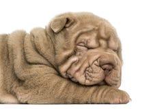 Shar Pei puppy sleeping, isolated on white Stock Photo