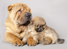 Shar pei puppy and Spitz Stock Image