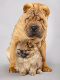 Shar pei puppy and Spitz Stock Photography