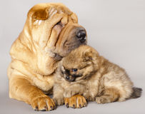 Shar pei puppy and Spitz Royalty Free Stock Photography