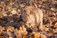 Shar-pei puppy is standing in the autumn foliage. Royalty Free Stock Images