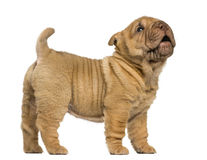 Shar Pei puppy standing, barking, isolated on whi royalty free stock photo