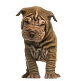 Shar Pei puppy standing, looking at the camera, Stock Photos