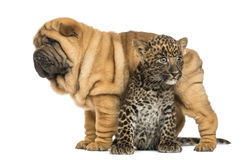 Shar pei puppy standing over a spotted Leopard cub Stock Photos