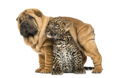 Shar pei puppy standing over a spotted Leopard cub Stock Images