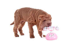 Shar-pei puppy and telephone Royalty Free Stock Photography