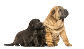 Shar pei puppy and two Black Leopard cubs sitting Stock Images
