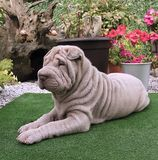 Shar Pei puppy. Two month shar pei puppy Stock Photo