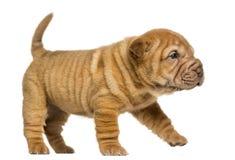Shar Pei puppy walking, isolated on white Royalty Free Stock Photos