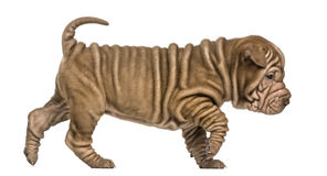 Shar Pei puppy walking, looking down, isolated on Royalty Free Stock Image
